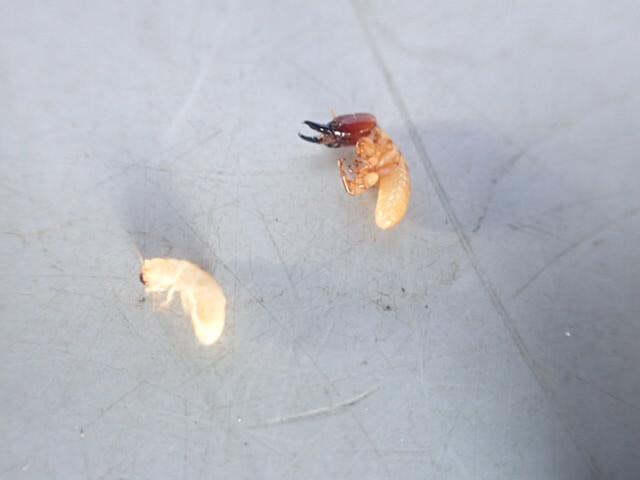アメリカカンザイシロアリ 幼虫
