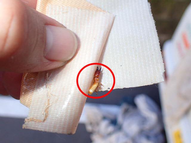 アメリカカンザイシロアリの写真