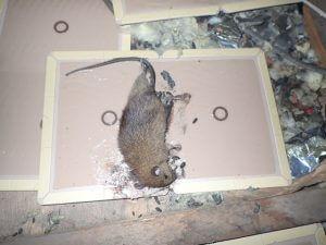ネズミ駆除画像 粘着シートにかかり死亡