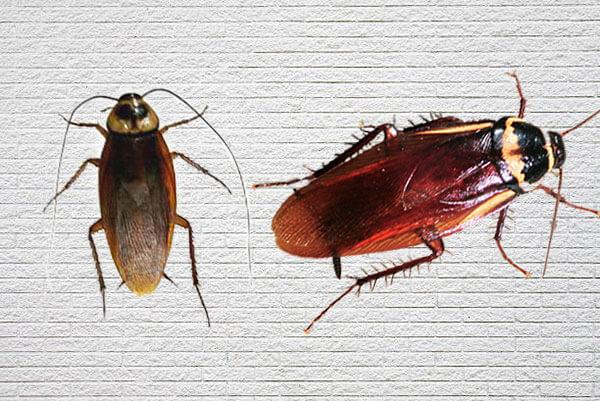 ワモンゴキブリ2匹