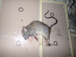 ネズミ駆除 粘着シートかかり死亡