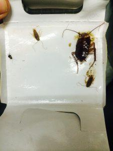 ワモンゴキブリ