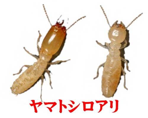 ヤマトシロアリ画像