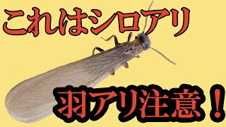 羽アリはシロアリの世界ではエリート 動画サムネイル
