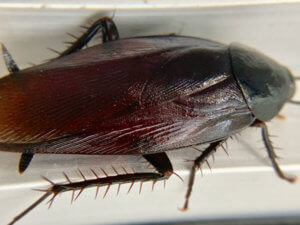 黒ゴキブリ