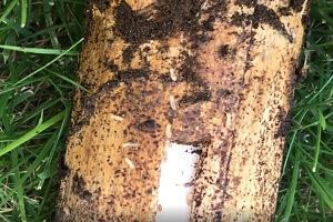 シロアリベイト工法 エサ木に群がるシロアリ
