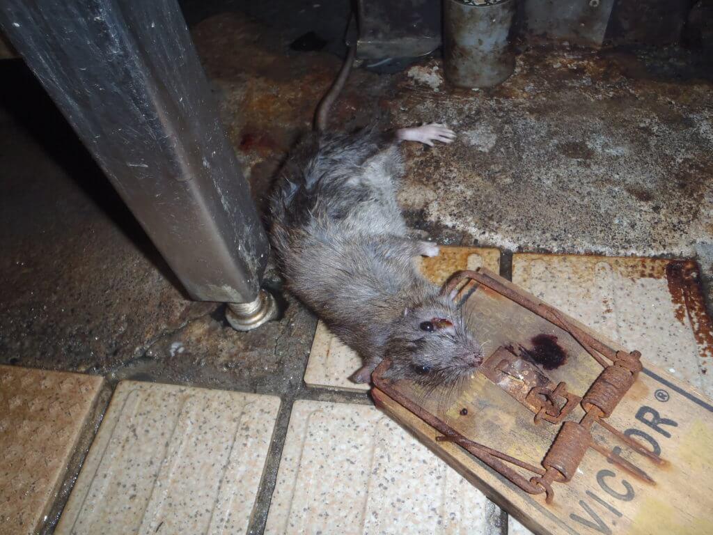 ネズミ捕獲器で捕獲したネズミ