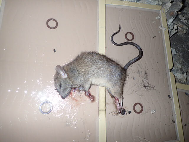 ネズミ駆除用粘着シートで捕獲