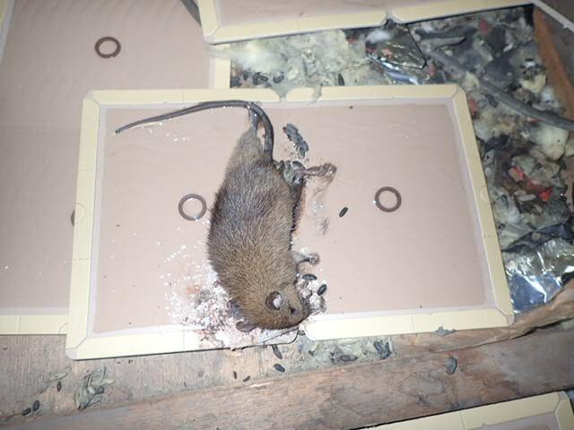 ネズミの住処で捕獲