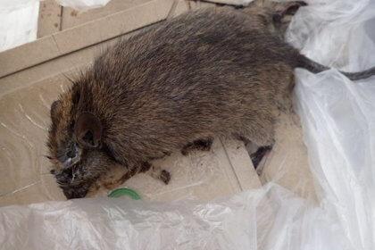捕獲したネズミ
