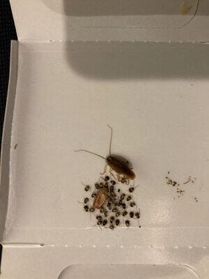チャバネゴキブリ捕獲画像