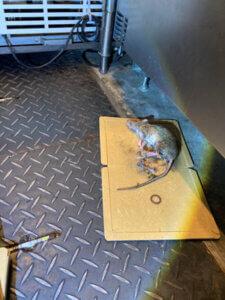 厨房内で粘着シートにかかったネズミ